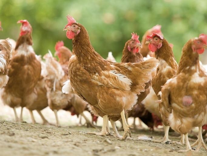 Huhn im Glück