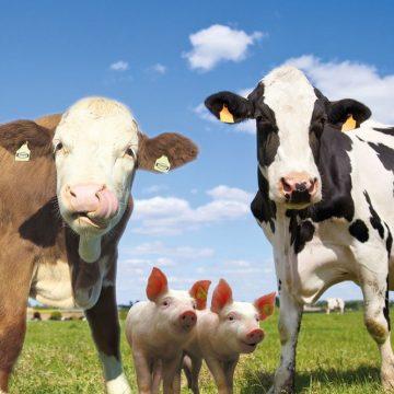 Mineralstoffe und Wirkstoffergänzer für Rinder und Schweine